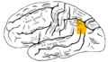 Gray726 angular gyrus.png