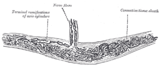 Bulbous corpuscle - Nerve ending of Ruffini.