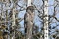 Great Grey Owl - Flickr - GregTheBusker (2).jpg