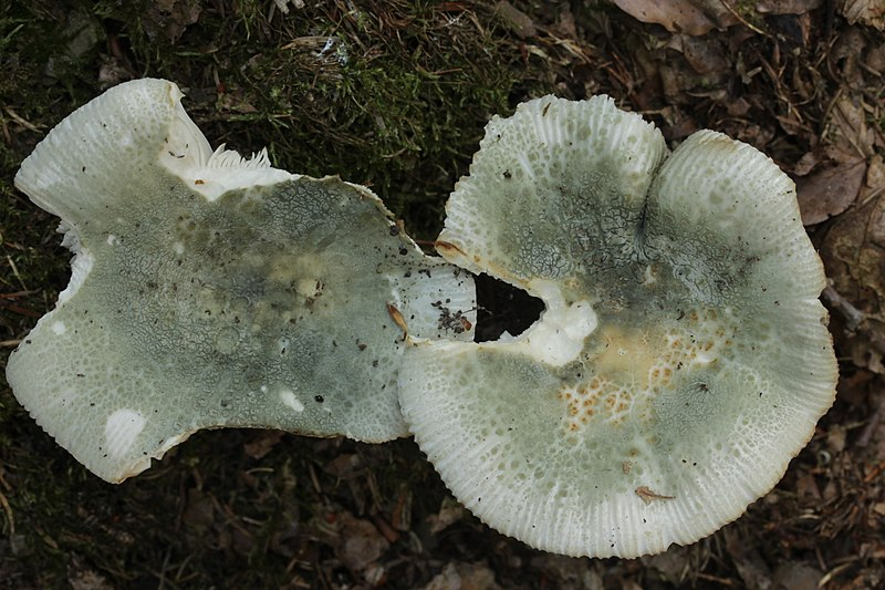 File:Green-cracking Russula - Russula virescens (37221098980).jpg