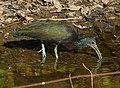 Green Ibis (Mesembrinibis cayennensis) (31371631360).jpg