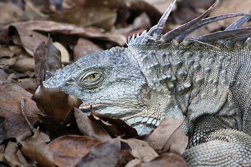 File:Green Iguana, nap interrupted 01.JPG