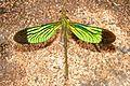 Green Metalwing (Neurobasis chinensis) (16300268076).jpg