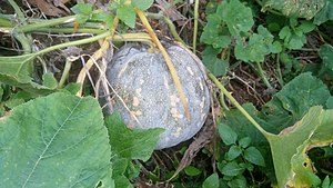 Green pumpkin with leaves