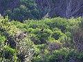Green Rosella - Flickr - GregTheBusker.jpg