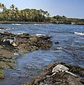 Green turtles at Black Sand Beach.jpg