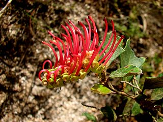 <i>Grevillea infecunda</i> species of plant