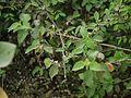 Grewia ¿ abutilifolia - helicterifolia ? (5507673721).jpg