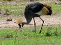 Grey Crowned Crane – Luangwa National Park - Zambia-2.jpg
