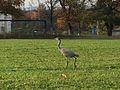 Grey bird fall2014 stuttgart.jpg