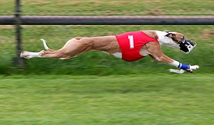 Greyhound Racing amk.jpg