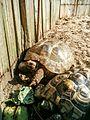 Griechische Landschildkröte in Zoo.jpg