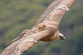 Griffon vulture at Gamla nature reserve.jpg