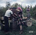 Grozdje nosijo v prešo, vinogradi pri Drašičih 1965 (2).jpg