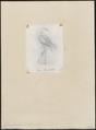 Grus monachus - 1857-1858 - Print - Iconographia Zoologica - Special Collections University of Amsterdam - UBA01 IZ17300089.tif