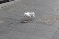 Gull and rat, Whitechapel 2.jpg