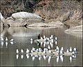 Gulls on American River near Rainbow Bridge - panoramio.jpg
