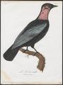 Gymnoderus foetidus - 1801 - Print - Iconographia Zoologica - Special Collections University of Amsterdam - UBA01 IZ16600135.tif