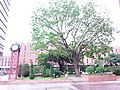 HK 香港理工大學 PolyU 紅磡 Hung Hom tree n clock tower May 2019 SSG 09.jpg