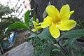 HK Sheung Wan 老沙路街 Rozario Street plant Allamanda schottii cross green leaves October 2017 IX1 yellow flower 02.jpg