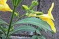 HK Sheung Wan 老沙路街 Rozario Street plant Allamanda schottii cross green leaves October 2017 IX1 yellow flower 03.jpg