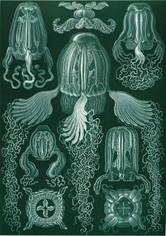 """Cubomedusae"", segons Ernst Haeckel Artforms of Nature, 1904"