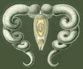 Haeckel Platodes Bucephalus.png