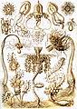 Haeckel Tubulariae.jpg