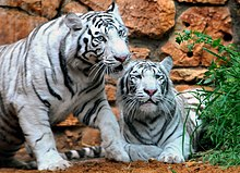 Haifa White Tigers-9129-13.jpg