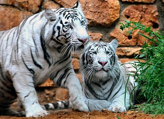 Tiger - White tigers, this recessive colour variant is found only in the Bengal subspecies and with regular stripes and blue eyes. It is not albinism.