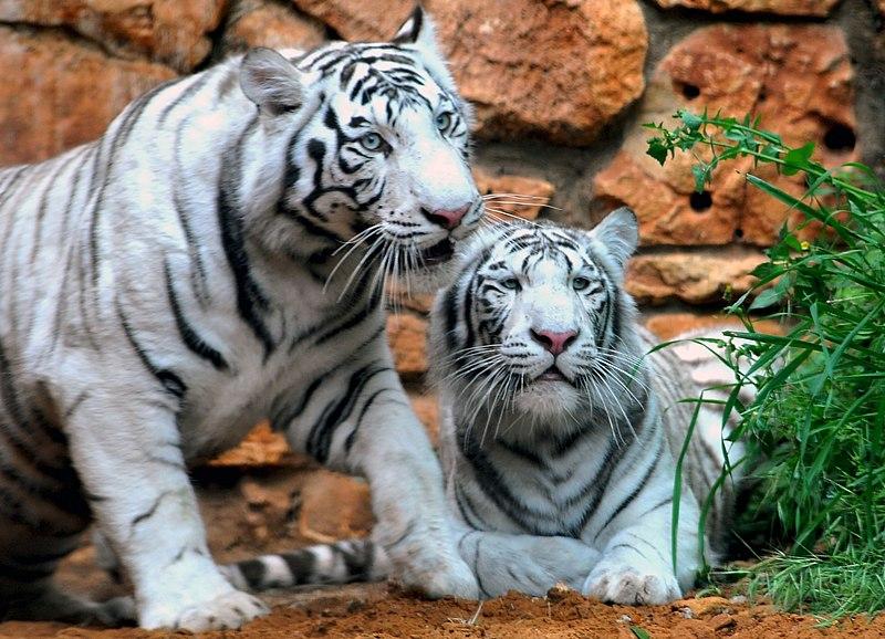 Haifa White Tigers-9129-13.jpg