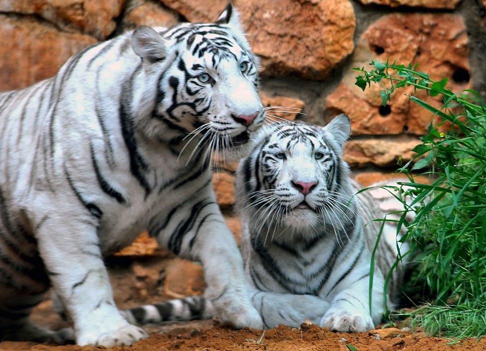 Haifa White Tigers-9129-13