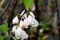 Halesia tetraptera 8zz.jpg