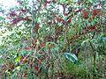Halleria lucida, habitus, Iphithi NR.jpg