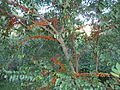 Halleria lucida, oranje newevorm, Iphithi NR, c.jpg
