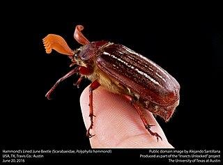 <i>Polyphylla hammondi</i> Species of beetle