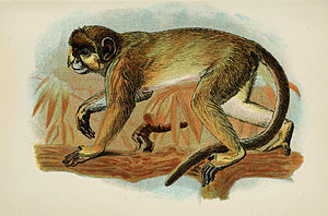Handbook to the Primates Plate 32.jpg