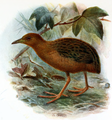 Hawaiian Spotted Rail.png