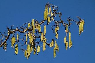 Corylus avellana - Corylus avellana 'Contorta'