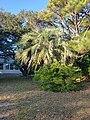 Healthy Butia Capitata in Buxton North Carolina. .jpg