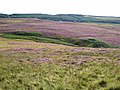 Heather in bloom - the valley of the Raylees Burn - geograph.org.uk - 540964.jpg