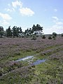Heathland on the southern edge of the Hawkhill Inclosure, New Forest - geograph.org.uk - 24642.jpg