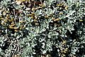 Helichrysum argyrophyllum.jpg