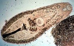Platyhelminthes osztály trematoda