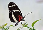 Heliconius hewitsoni qtl1.jpg