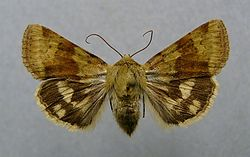 definition of heliothis