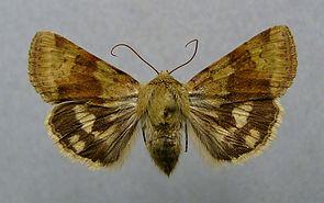 Heliothis viriplaca.jpg