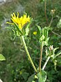 Helminthotheca echioides sl41.jpg