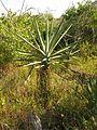 Henequen - Flickr - treegrow (1).jpg