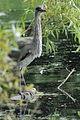 Heron Bushy Park 04.JPG